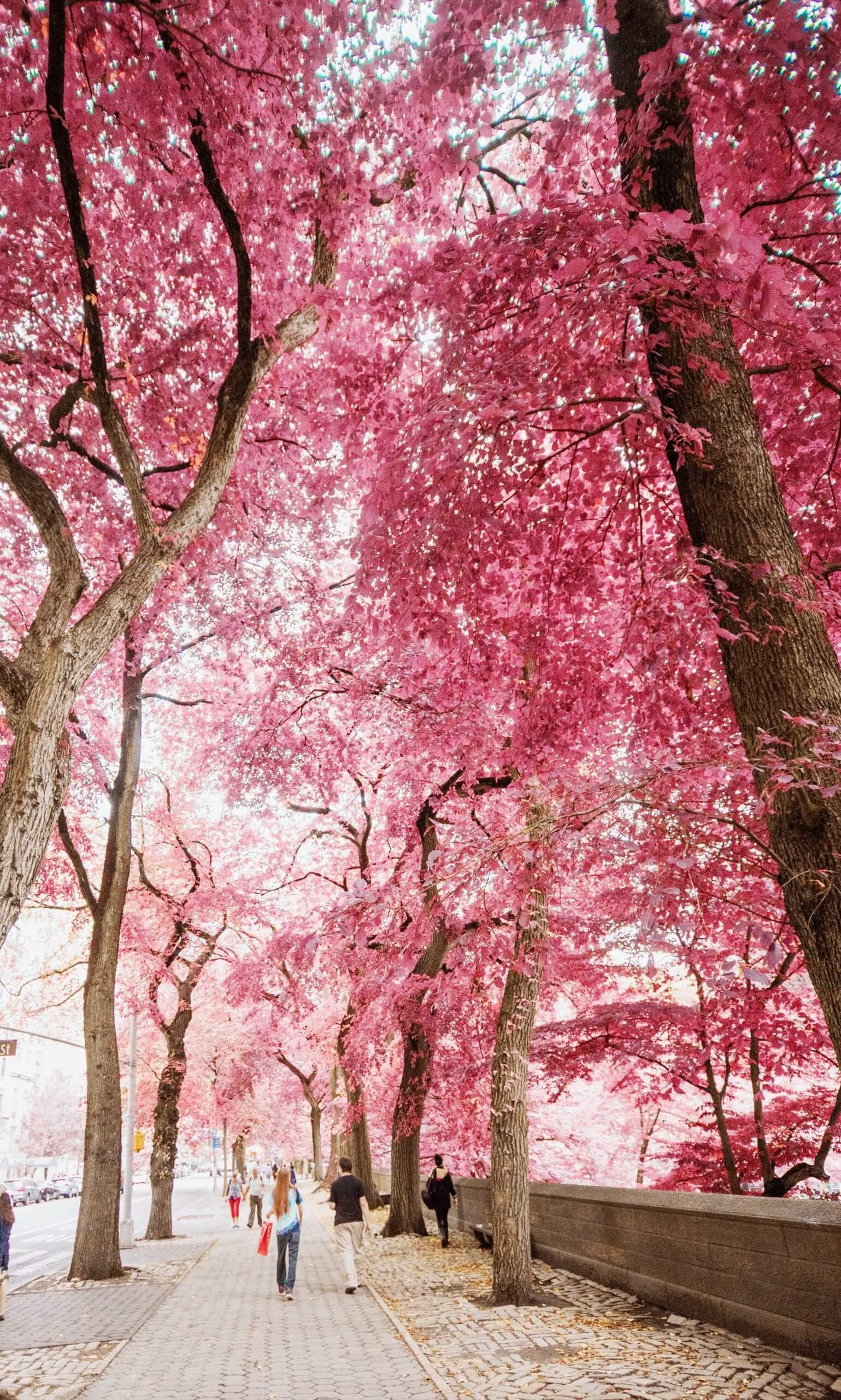 Flowering trees near a sidewalk